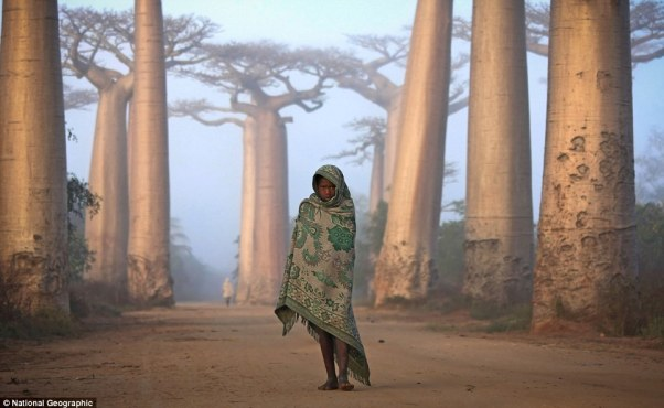 Near the city of Morondava, on the West coast of Madagascar, lies an ancient forest of Baobab trees. Unique to Madagascar, the endemic species is sacred to the Malagasy people