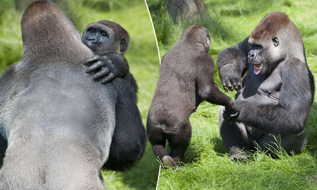 The Hug That Says They're Just Like Us As Two Gorilla