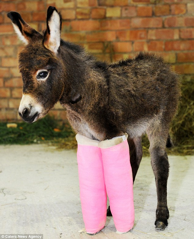 Tickled pink: Primrose the three-week-old donkey was saved by vets who put her under-developed legs in pink casts until they are string enough to support her