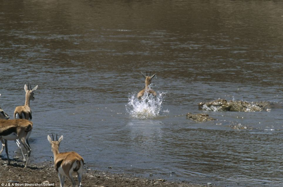 Leap of faith: The gazelle takes the plunge and bounds across the water as two crocodiles approach with menacing-looking grins