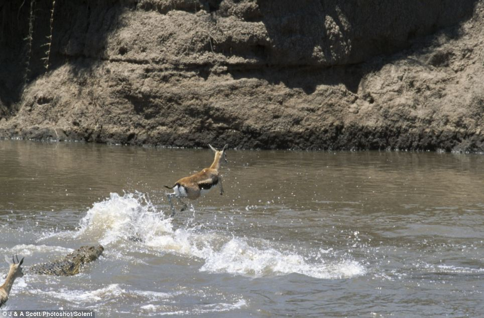 One who dares wins: Against all odds, the gazelle jumped clean over them as it bounded across the water of the the Mara River, in the Masai Mara, Kenya
