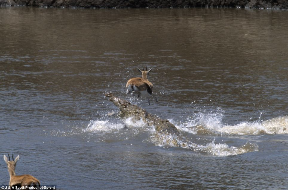 David and Goliath: One of the crocodiles goes in for the kill open-mouthed but the little gazelle escapes in yet another death-defying jump straight over its head