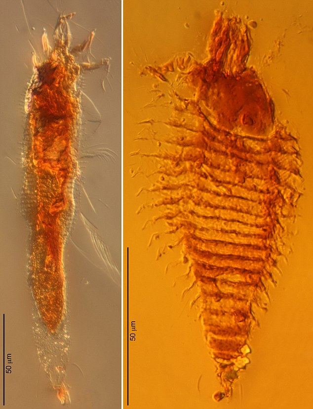 These photomicrographs are of the two new species of ancient gall mites in 230-million-year-old amber droplets from northeastern Italy, taken at 1000x magnification. The gall mites were named (left) Triasacarus fedelei and (right) Ampezzoa triassica
