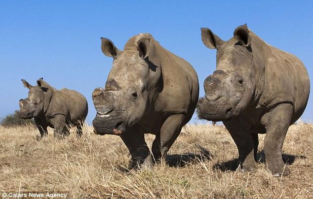 Farming Rhinos And Legalising Sale Of Their Horns Worth