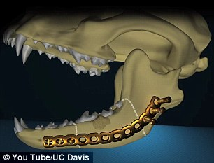 Dog gets 8000 reconstructive surgery on jawbone and beats oral cancer  Daily Mail Online