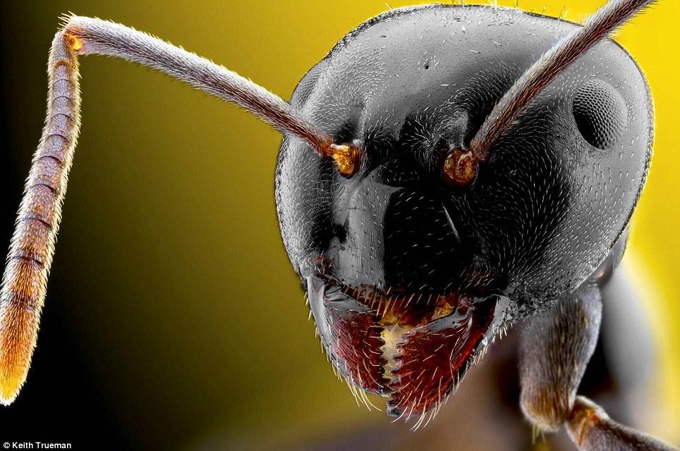 """""""Esta imagen me llevó unas cuantas horas de configurar.  La hormiga es sólo 3 mm de longitud '"""