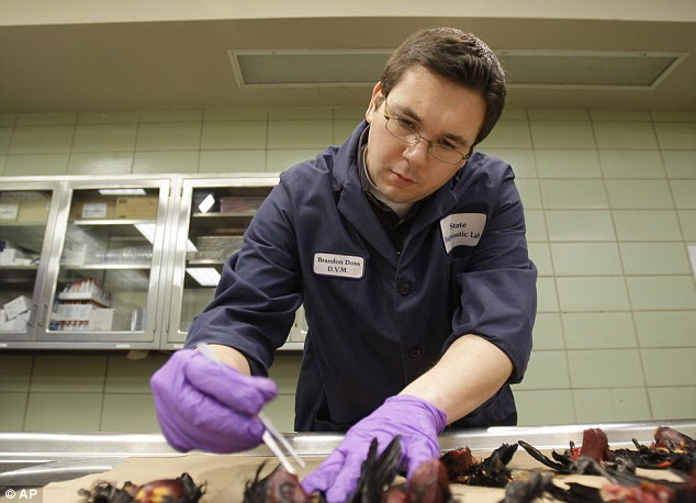 Dead birds: A veterinarian examines dead red-winged blackbirds in Little Rock, Arkansas after thousands fell dead out of the sky last year