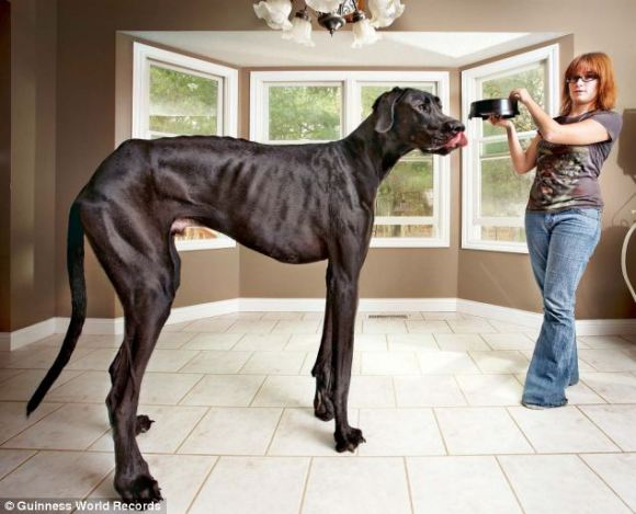 Big dog: Great Dane Zeus measures 44in from paw to withers and owner Denise, right, says young children often mistake him for a horse
