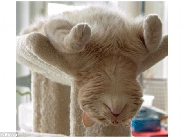 Stretching out: A white cat hangs its head and tiny jaw down beneath its belly while taking in a snooze