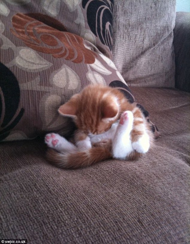 Beside himself: Seen entirely tuckered out, an orange and white kitten slumbers while folded in half on the couch