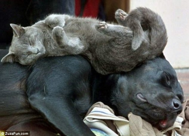 Living it up: A gray cat hopes to blend in unnoticed while snoozing across a far more larger black dog