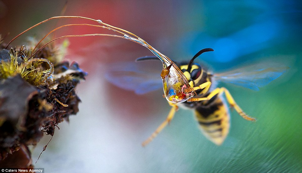Glorious colour: A wasp tackles another bead of water as it explores Irina's garden in Moscow, Russia