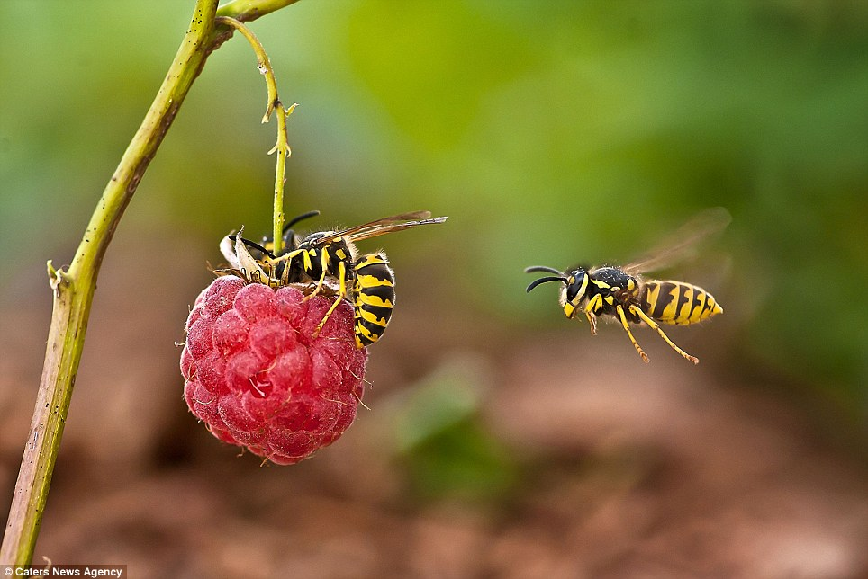 Photographer, Irina Kozorog, enticed the insects using sweet foods such as raspberries after setting up her macro photography equipment in her garden