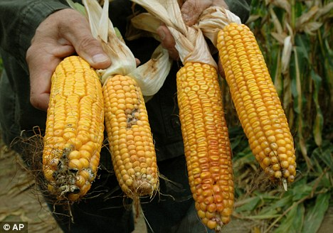 Cancer risk? A farmer shows two corncobs of genetically engineered corn by U.S. company Monsanto, right, and two normal corncobs from Germany, left