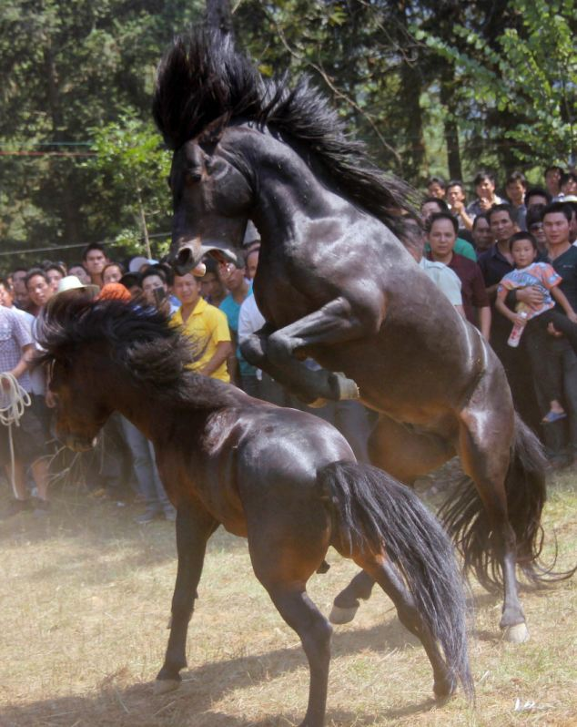 Fierce fight: One stallion jump to attack another in the traditional event in Rongshui County, China