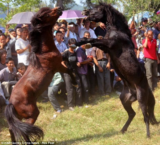 Battle: The two horses fight on their hind legs with teeth bared as the crowd cheers