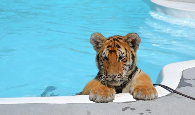Opposition: Animal rights activists say the baby tigers are being exploited and abused by the zoo