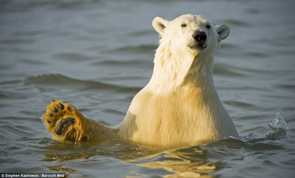 In-your-face polar bear pictures (6/6)