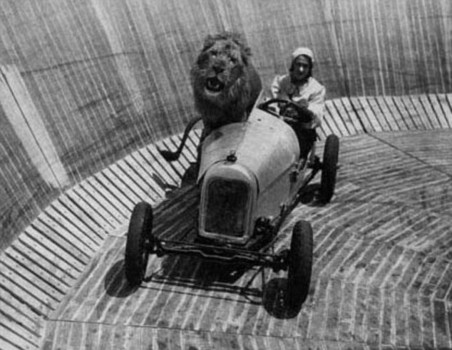 Wind-swept: Perched on the edge of the vehicle, the lion is driven around the 'Wall of death' at speeds as high as 80mph