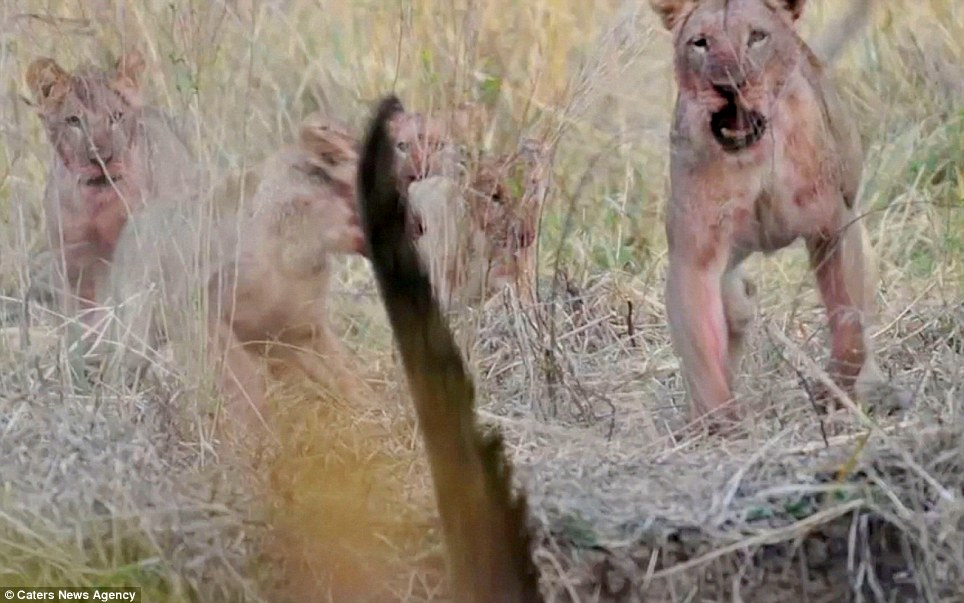 And just to make sure, the lionness roars her disapproval: It looks like the aggressive animals took a few seconds to come to their senses following the rude interruption
