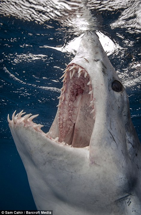 Photographer Sam recalled: 'The Mako made some menacing passes. On a number of occasions she almost swallowed the camera whole, allowing me to shoot straight down her maw.'
