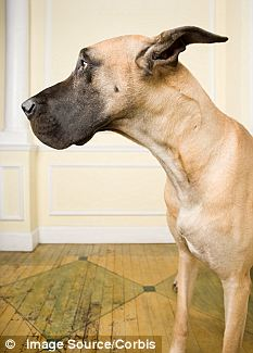 Ford's husband Steve and their Great Dane dog, Lola, were in the room near her body (stock image)