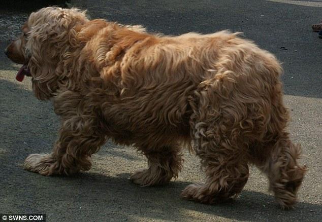 big dog sofa bed sleeper reviews 2017 billly the scottish cocker spaniel loses weight on crash ...