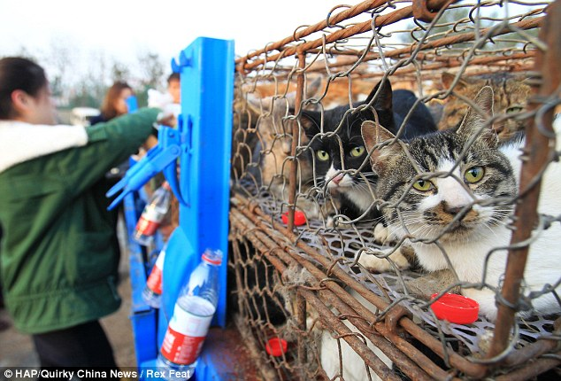Caged animals: Many of the 500 cats were crammed together in tiny cages as they made the trip in the back of the truck across China