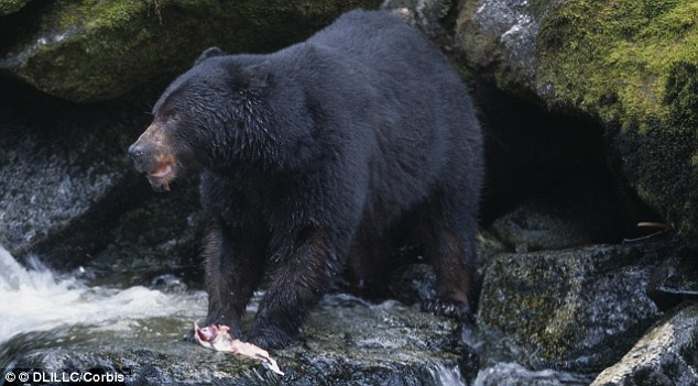 Black Bears number about 30,000 in Oregon and are North America's most common bear