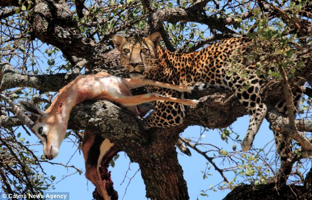 Hungry mouths: Experts believe the leopard was planning to take the gazelle home to share with the family