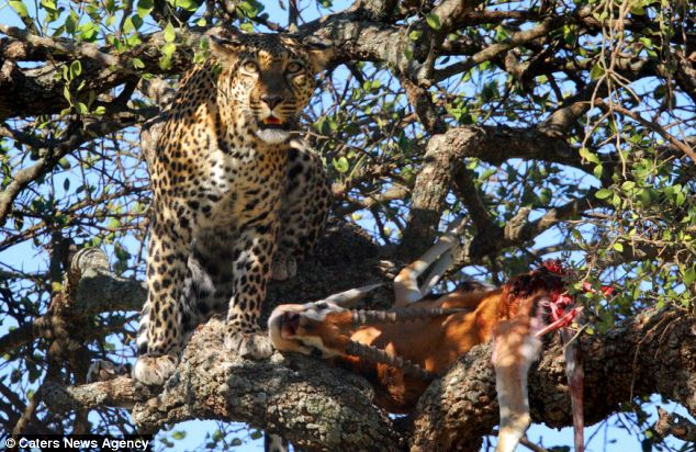 Guarded: The female leopard made those following her wait for two hours before leading them to her meal