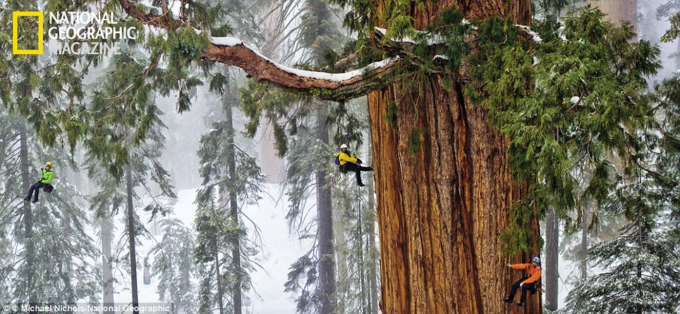 Taking on the president: The world's second largest tree, a sequoia dubbed the president, on the western slope of the Sierra Nevada mountain range