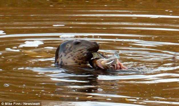 Lost! A lone seal was spotted miles inland on the Severn just outside Worcester after swimming up the swollen river