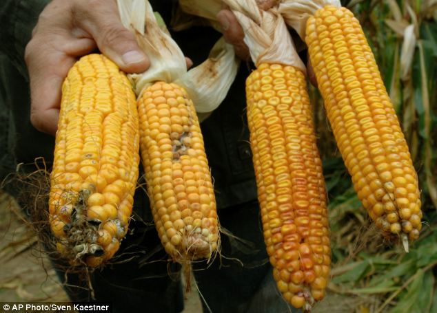 Two GM corncobs (right) are compared to non-GM corn (left) grown in Germany.