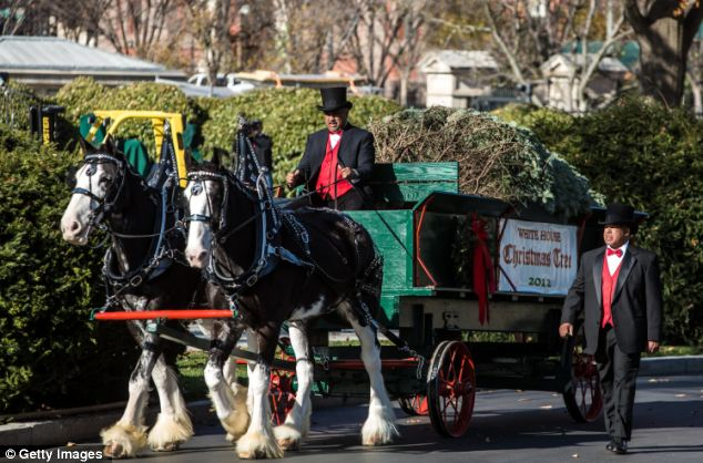 Here it comes! The Christmas Tree arrived at the White House on Friday morning on a horse-dawn carriage