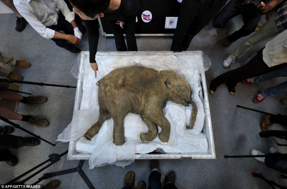 The 42,000 year old carcass of the world's most well-preserved baby mammoth, named Lyuba, is displayed in Hong Kong in April