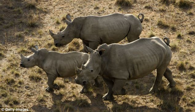 Record 588 Rhinos Killed By Poachers In South Africa This