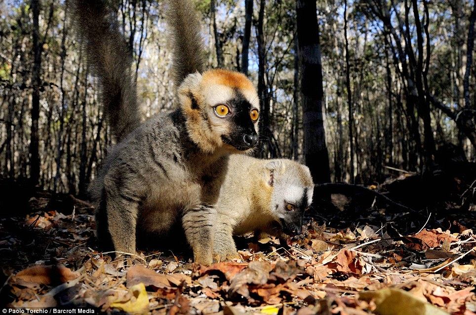 Cheeky chaps: Two brown Lemurs forage through the undergrowth on a Madagascan forest floor. Lemurs are unique to Madagascar. The number of known Lemur species is continuing to grow with some estimates putting the figure at 100