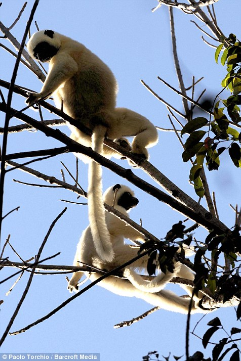 A pair of Sifaka lemurs cling to the branches of a tree
