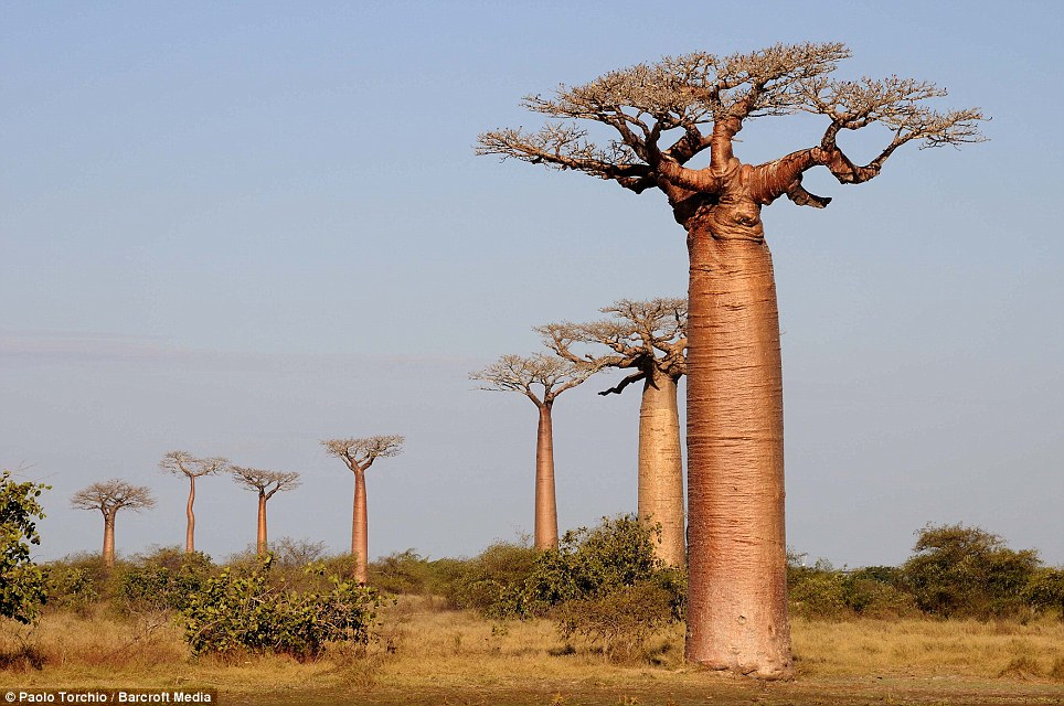 A row of Baobab trees stand like telegraph poles in the hazy morning sun. As Madagascar's population is currently doubling every 25 years, there is ever growing pressure for land, mainly for slash-and-burn agriculture