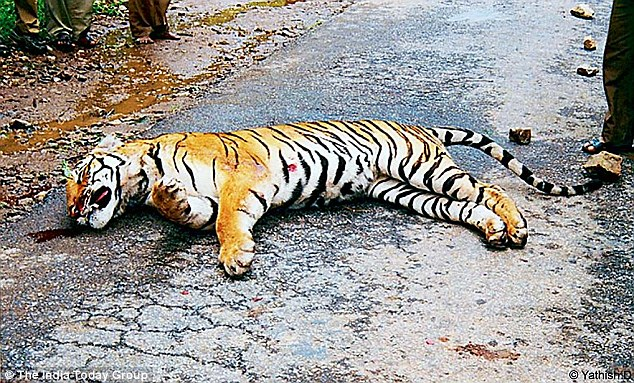 The body parts of tigers are highly sought after for medicinal use in South Asia