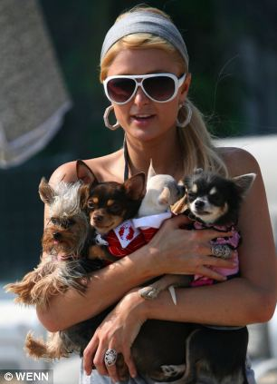 it s hollywood s new plague packs of handbag dogs discarded by feckless fans enter helen