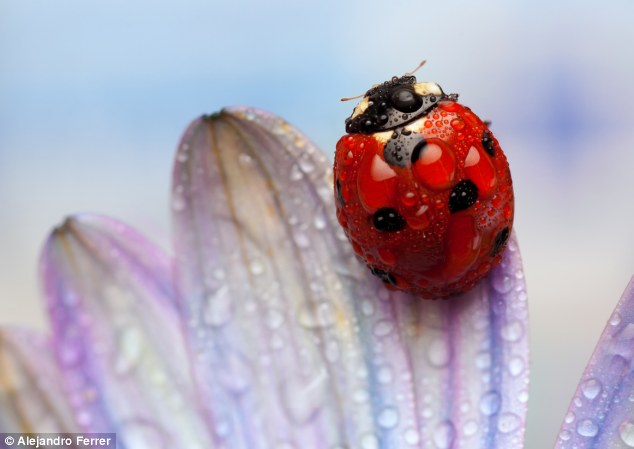 Dewy eyed: The bright shell of a ladybird in contrast to a soft violet-hued flower