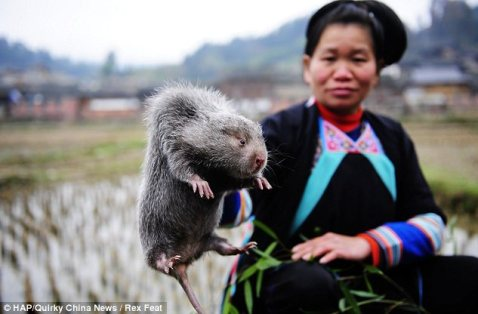 Image result for chinese rats