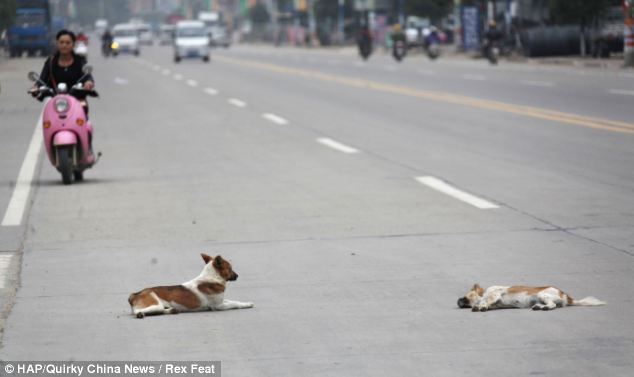Bereaved: Butcher Xiao Wu, who works on the street, said when the dog was tired he would simply lie down but not leave her side