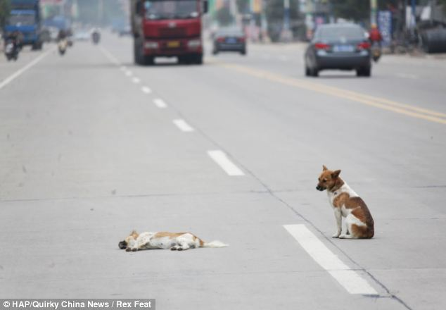 Vigil: The dog refused to move from her side despite the female lying in the middle of the busy road