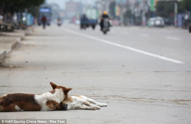 Tragic: The male dog continues to cuddle the dead female even when her body has apparently been moved to the side of the road