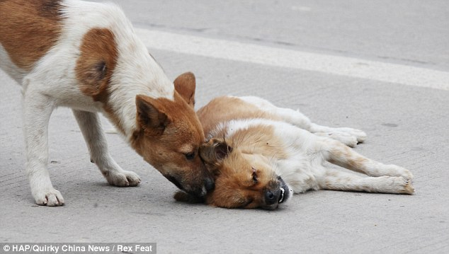 Heartbreaking: The male dog tries to nudge his mate awake after she was hit by a car