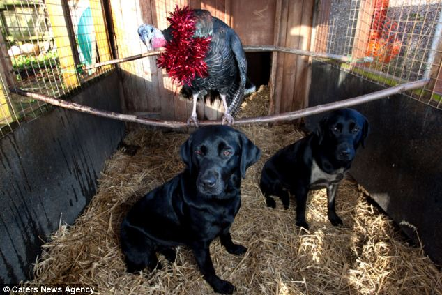 Cranberry the turkey with Teal and Widgeon. Though Labradors are bred to hunt game birds, the eight-year-old bird is the leader of the pack among her canine friends