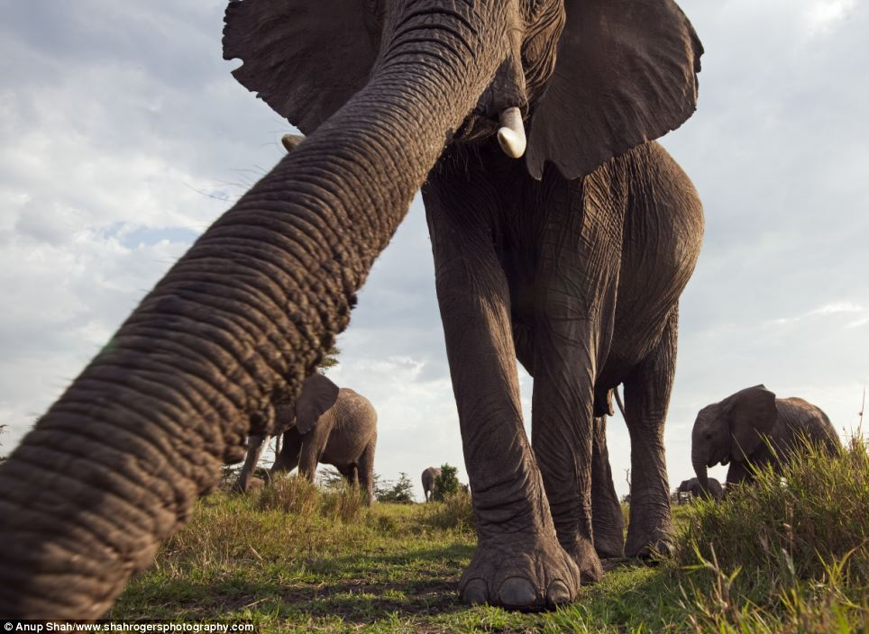 Wondrous: This elephant's long trunk is put into perspective with this wide angle shot in the Massai Mara National Reserve in Kenya